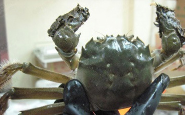 上海蟹.jpg